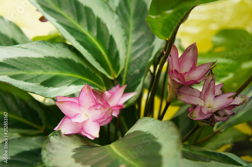 Foto  Calathea loeseneri or brazilian star calathea green plant with pink flowers