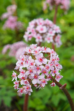 Darmera Peltata Or Umbrella Pl...