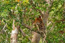 Mother Proboscis Monkey (Nasal...
