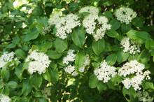 Rusty Blackhaw Viburnum White Flowers On Green Shrub