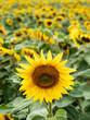 Viele Sonnenblumen auf einem Feld