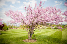Cercis Griffithii (Eastern Redbud) Is A Large Deciduous Shrub Or Small Tree, Native To Eastern North America From Southern Ontario,Canada South To Northern Florida. Blossoming Tree