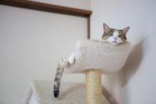 眠い三毛猫さん、sleepy Calico Cat