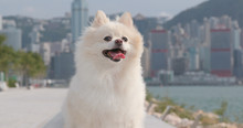 White Pomeranian Dog At Outdoor