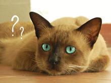 Pensive Blue-eyed Cat