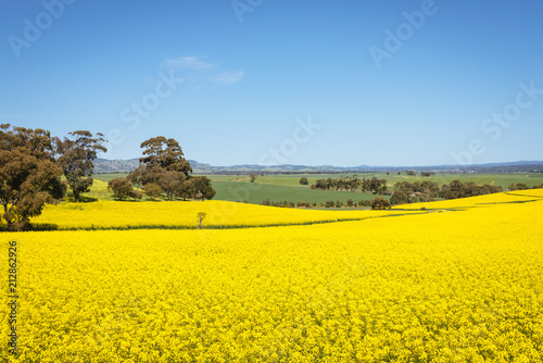 Wall Murals Yellow Wide view of canola field in the Barossa Valley, South Australia.