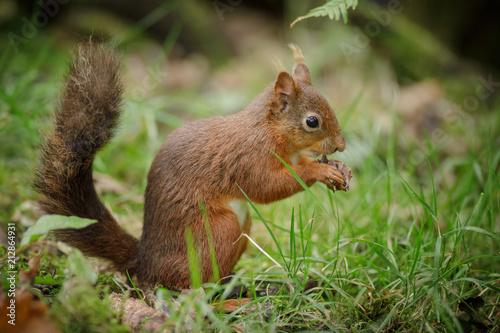 Tuinposter Eekhoorn Red squirrel sitting in grass