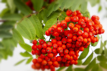 Red Ripe Rowanberry Branch In ...