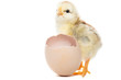 Chicken hatched from the shell