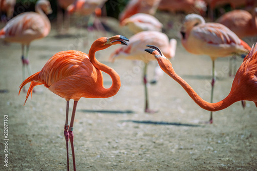 Foto op Canvas Flamingo Two Caribbean Flamingos in fight