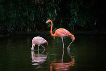 Two Caribbean Flamingos In A Lake