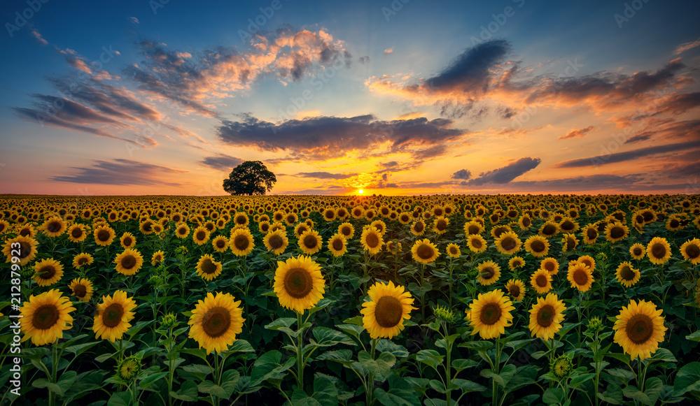 Fototapeta Pole kwitnących słoneczników i drzewa na tle zachodu słońca - obraz na płótnie
