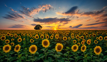 Field Of Blooming Sunflowers A...