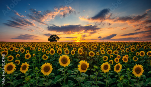 Poster de jardin Tournesol Field of blooming sunflowers and tree on a background sunset