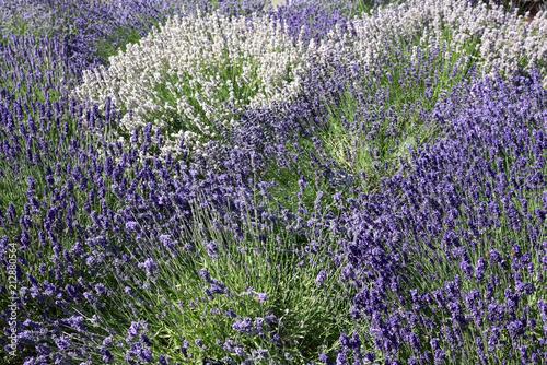 Poster Lavendel Lavandes bleues et blanches
