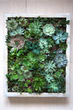 Vertical Wall Garden Concept: Various Succulents In Wooden Framed Living Picture
