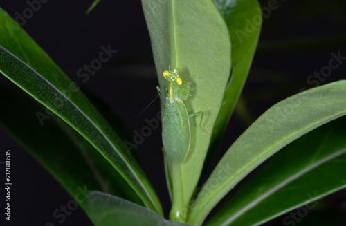 Staande foto Kameleon Praying Mantis Camouflage on Back of Green Leaf