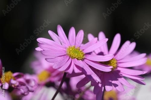 Foto op Canvas Madeliefjes margeriten, lila, blumen, sommer, blüten, Leucanthemum