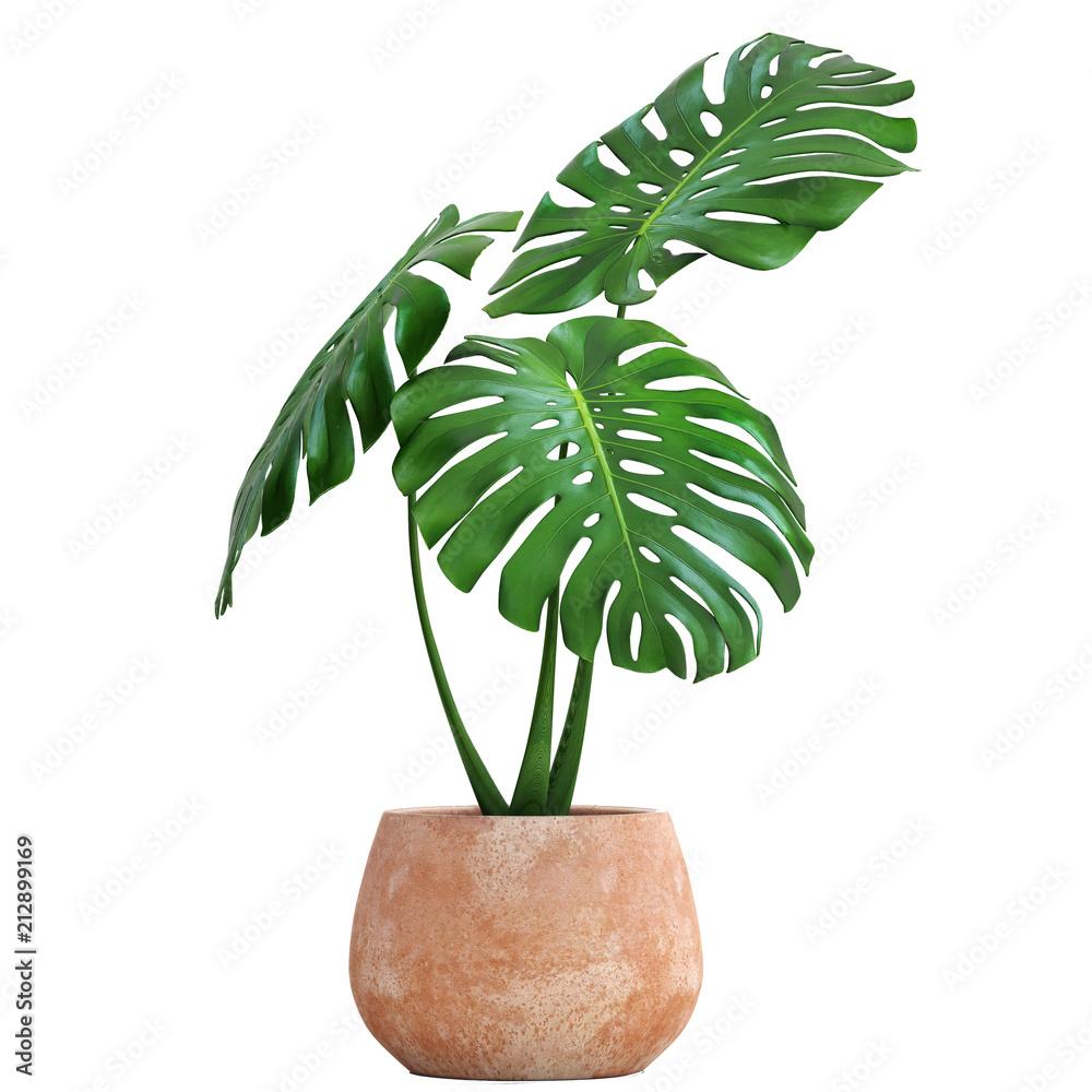 Fototapeta Monstera in a pot on a white background