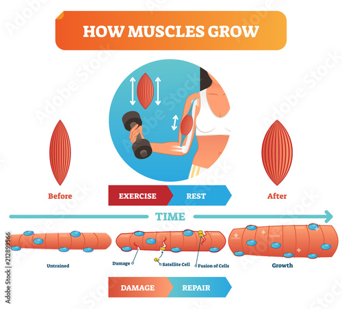 Valokuva  Vector illustration about how muscles grow