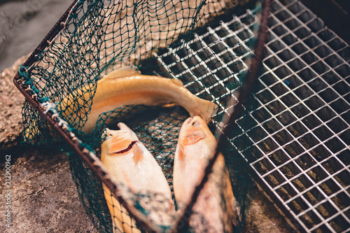 Fotomural bio trout farm with fresh raw trouts in the fisherman net near the fishpond wit