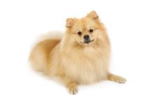 Pomeranian Dog On A White Backgrounda