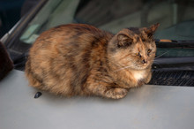 Tricolor Cat Sleeping On The Car In The Street