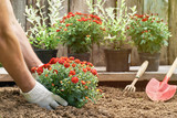 Male hands in protective gloves planting a bush of a red chrysanthemum into the earth