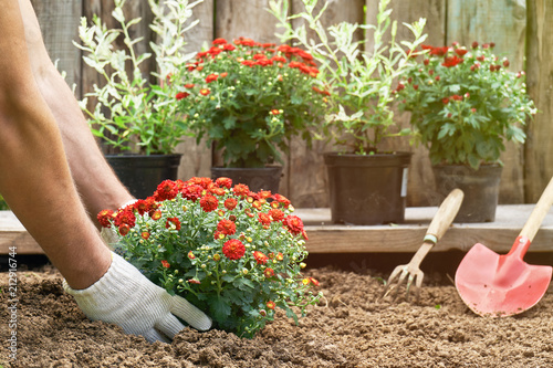 Slika na platnu Male hands in protective gloves planting a bush of a red chrysanthemum into the