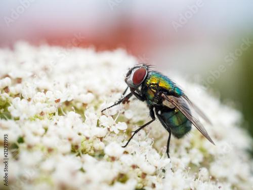 Schmeißfliege auf einem Blütendolden Calliphoridae