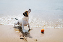 Small Dog Breed Jack Russell Terrier Out Of The Water And Shakes On A Sandy Beach. Close Up.