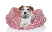 CUTE JACK RUSSELL  ON RED AND WHITE CHECKERED DOG BED ISOLATED ON WHITE BACKGROUND