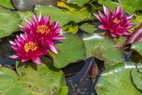 Flower of a Rubra water lilly