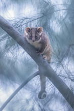 Common Ringtail Possum (Pseudo...