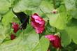 赤い花とカラスアゲハ