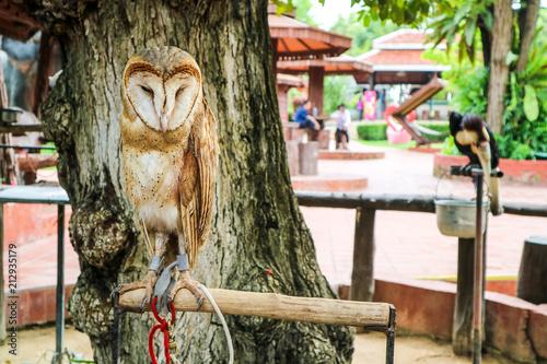 Asian barred owlet pet standind sleep on branch tree