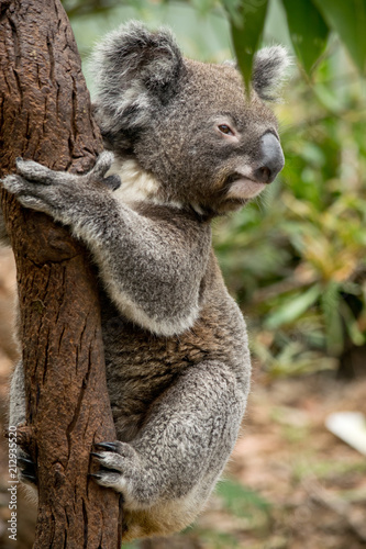 Staande foto Koala Koala siting on the branch in the zoo. Australia.