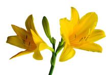 Yellow Daylily Isolated On White Background