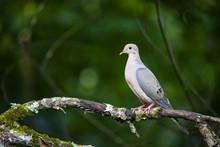 Profile View Of Dove On Tree Limb