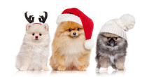 A Group Of Pomeranian Spitz Dogs Wearing Christmas Outfit