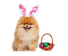 Sitting Red Pomeranian Spitz Wearing Easter Rabbit Ears