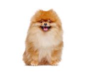 Pretty Red Pomeranian Spitz Is...