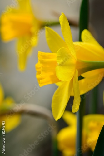 Deurstickers Narcis Close up of Daffodils (Narcissus) in bloom