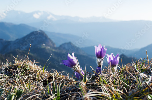 Foto op Canvas Krokussen Violet flowers of crocus on the background of mountains