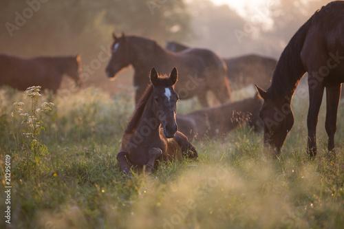 Foal at dawn Fototapeta