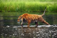 The Siberian Tiger (Panthera Tigris Tigris),also Called Amur Tiger (Panthera Tigris Altaica) Walking Through The Water. Beautiful Female Siberian Tiger In Warm Summer.