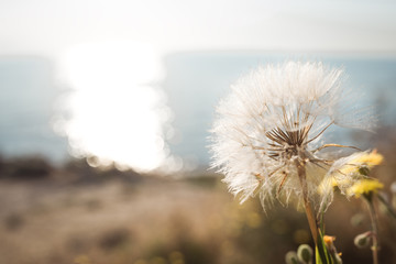 dandelion in front of the sea