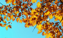 The Autumn Leaves On Sky Background.