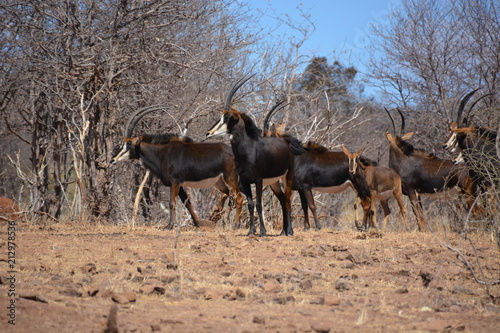 Fotografie, Obraz  Female and child group of Sable Antelopes (one of endangered species) is standin