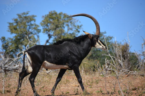 Male Sable Antelope (one of endangered species) is walking in the bush, Chobe National Park, Kasane, Botswana, Africa